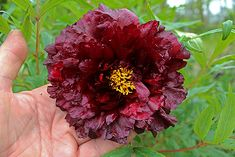 Ruffly and smoldering, this tree peony is among the darkest.  For a week in May, it's the star of the garden.    'Black Panther' tree peony / Paeonia 'Black Panther'