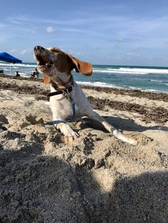 He& a seven month old English coonhound. He was rescued from Orlando at birth and became part of the family at three weeks old. He loves balls, squirrels, and he& recently discovered frogs. English Coonhound, Old English, Squirrels, Frogs, I Love Dogs, Thor, Orlando, Balls, Birth
