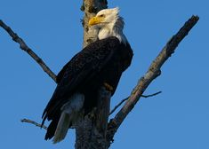 Baldy hanging on Red Alder by Evan Spellman on YouPic Alder Tree, Bald Eagles, River, Rivers