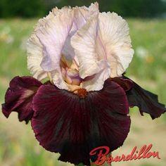 Iris : BROAD SHOULDERS - bourdillon