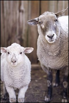 Sheep Just Never Stop Being Beautiful by brooklyntweed, via Flickr
