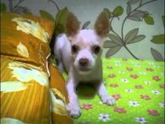 Ninja Dog Doesn't Like to Be on Camera - Funny pictures and memes of dogs doing and implying things. If you thought you couldn't possible love dogs anymore, this might prove you wrong. Funny Animal Videos, Funny Animals, Dog Videos, Dog Attack, Pet Style, Dog Stories, Chihuahua Dogs, Funny Dogs, Pets