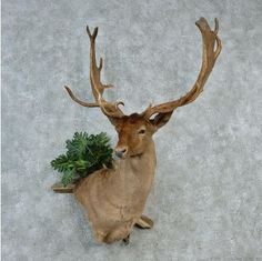"This outstanding ""chocolate"" fallow deer taxidermy mount is for sale @thetaxidermystore.com"
