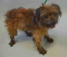 """♥ SAFE ♥ http://nycdogs.urgentpodr.org/snork-a1070122/ URGENT – SCRUFFY STRAY WITH WAGGING TAIL ☆ Available information about  little SNORK: """"male, Yorks.terr mix, 7 yrs, nervous, growling, dirty and matted coat""""... However, on FRENCH FRY page I found that """"he arrived with scruffy little buddy Snork and when we stopped by his kennel two boys were happy to see each other again, snuffling faces and wagging tails"""". This little guy is the sweetest soul. HOW COULD YOU NOT FALL IN LOVE WITH SNORK?…"""