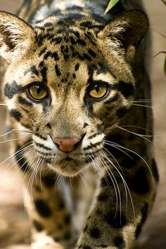 Clouded Leopard (Neofelis nebulosa) (Top 10 Photos of Big Cats) Animals And Pets, Funny Animals, Cute Animals, Wild Animals, Baby Animals, Funny Cats, Beautiful Cats, Animals Beautiful, Hello Beautiful
