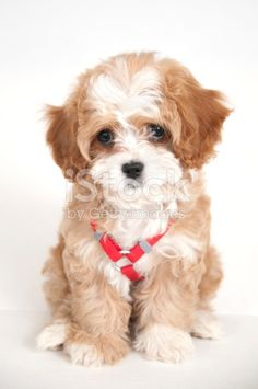 A cavapoo puppy isolated on white. Cavapoo is a hybrid of a Cavalier King Charles Spaniel and a Poodle. They are part of a new trend of dogs called 'Designer Dogs'.