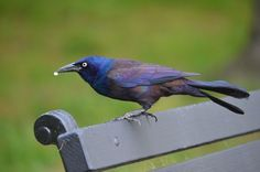 blue crow - Google Search