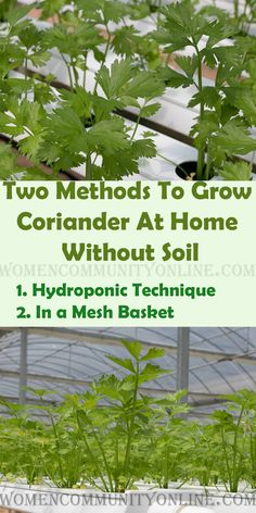 Growing your own cilantro is both simple and cost-effective. In this post, I'll tell you How to grow Cilantro in Water. I will tell you two methods of growing your own Cilantro at home. #cilantro #food #foodie #homemade #healthyfood #coriander #organic #growcilantro #growcoriander Growing Coriander, Coriander Cilantro, Online Blog, Grow Your Own, Hydroponics, Home Remedies, Told You So, Herbs, Community