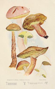 Boletus. Toadstools, mushrooms, fungi, edible and poisonous; one thousand American fungi. Indianapolis,The Bowen-Merrill Company[c1902] Biodiversitylibrary. Biodivlibrary. BHL. Biodiversity Heritage Library