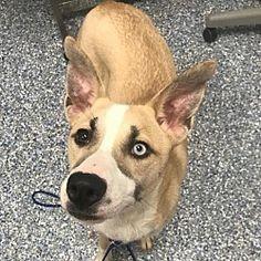 Angola, Indiana - Husky. Meet Alice, a for adoption. https://www.adoptapet.com/pet/20610077-angola-indiana-husky-mix