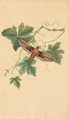 v.6 (1797) - The natural history of British insects : - Biodiversity Heritage Library  -----More than 200 years old and still the colors are vibrant