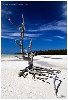 Lone Tree, Harbour Island Bahamas