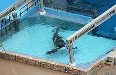 Tilikum being held in an isolated tank after killing his trainer Dawn Brancheau 2010