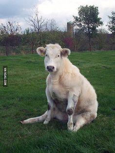 Vaca sentada.