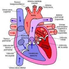 Diagram of the human heart (cropped) es.svg