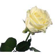 1 tot 10 lange witte rozen  Vanaf: €7,95