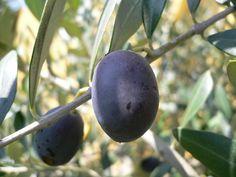 """Olives """"Leccino"""" for extravirgin olive oil  Olive della varietà """"Leccino"""" per produrre un ottimo olio extravergine d'oliva"""
