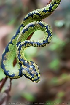 """The green pit viper conceals itself in trees and hunts by stealth."" Sri Lankan Wildlife; www.bradtguides.com"
