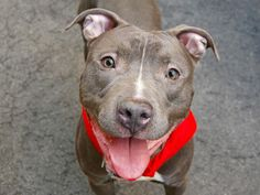 GONE - BE AT PEACE  6/4/14  Manhattan Cntr  RUGRAT  A1001611 Male gray/white pit mix. 3 YRS old.  STRAY 5/31/14   He's big, he's beautiful and he's strong but don't be intimidated - all Rugrat wants to do is snuggle and socialize with his friends! There's not one person or dog we pass that isn't met with the happiest of smiles! Very playful, likely house trained. Rugrat has a lot of heart and he's looking for a new home where his charming personality .