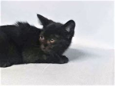 MINNALOUSHE - A1118576 - - Manhattan  ***TO BE DESTROYED 07/20/17***GREAT BEHAVIOR RATING! 3 MONTH OLD KITTEN HAS A COLD AND NEEDS RESCUE. CAME IN WITH 5 SIBLINGS. (ALL LISTED TONIGHT). -  Click for info & Current Status: http://nyccats.urgentpodr.org/minnaloushe-a1118576/