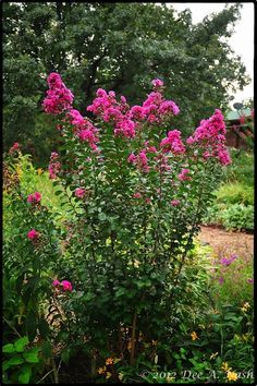 Pink Velour® crapemyrtle that died all the way to the ground  in the winter of 2011
