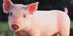 Demand the Government Makes Surveillance Cameras Compulsory in all Piggeries and Abattoirs to Help Stop Animal Cruelty