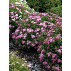 Spiraea japonica 'Genpei' / Japanischer Spierstrauch 'Genpei' ('Shirobana')