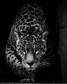 Beautiful jaguar face nature animals, animals and pets, cute animals, unique wallpaper, Jaguar Wallpaper, Wild Animal Wallpaper, Nature Animals, Animals And Pets, Cute Animals, Wild Animals, Beautiful Cats, Animals Beautiful, Beautiful People