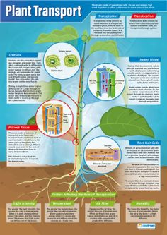 Our Plant Transport Poster is part of our Science series. The detailed, easy to understand poster provides a large image of a plant in the form of a diagram. Gcse Biology Revision, Science Revision, Gcse Science, Science Notes, Plant Science, Science Biology, Teaching Biology, Science Resources, Biology Lessons
