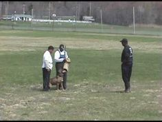 Bodyguard Cane Corso  doing Schutzhund demo.  Notice the dog does not attack until an aggressive move is made.  These dogs are the most highly trained, trustworthy dogs there are.  Notice too that he is not blindly attacking the perpetrator, but going for the arm as it is not damage, but capture and restraint that the dog is after.  Also be aware of the absolute control of the dog's handler over the behavior despite the dog's ability to work independently. They WILL NOT harm the innocent.