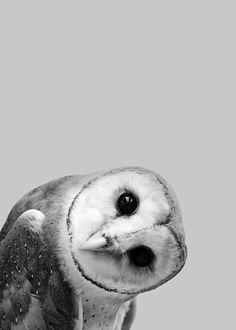 Owl Peekaboo Plakat i gruppen Plakater / Insekter & Dyr hos Desenio AB Animals And Pets, Baby Animals, Cute Animals, Smiling Animals, Nature Animals, Wild Animals, Beautiful Birds, Animals Beautiful, Animal Posters