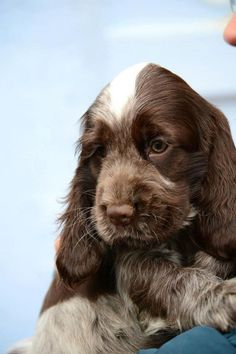 Image result for chocolate roan cocker spaniel pinterest