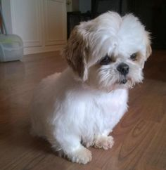 This cute little 9 pound bundle of #ShihTzu fur is 2-year-old La La. Little La La (Mopsy was her name but she prefers La La) was a ditch #dog, thrown away and found in a ditch. http://www.doggielife.com/CQ38SB