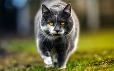 Download wallpapers British Shorthair Cat, lawn, muzzle, domestic cat, cats, gray cat, yellow eyes, cute animals, British Shorthair