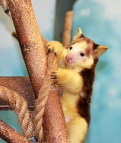 Cutest Baby Animals at U.S. Zoos: Bexley, Matschie's Tree Kangaroo, Saint Louis Zoo!
