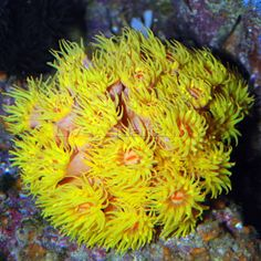 LPS Tube Coral, Yellow- Care Level: Moderate Temperament: Peaceful Lighting: Low Waterflow: Medium to Strong Placement: Bottom