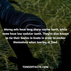 Moray eels have long sharp canine teeth, while some have low nodular teeth. They're also known to tie their bodies in knots in order to anchor themselves when tearing at food. Dolphin Facts, Whale Facts, Dinosaur Facts, Lion Facts, Tiger Facts, Cat Facts, Fun Facts About Animals, Animal Facts, Elephant Facts