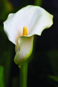 Neither Arum Nor Lily