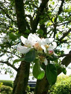 Æbleblomster fra min have 2017