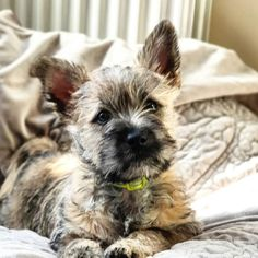 This little boy joined our family a few days ago. We were supposed to go to the vet today to do his vaccines and health. Kittens And Puppies, Cute Puppies, Cute Dogs, Cairn Terrier Puppies, West Highland Terrier, Dog Rules, Westies, Scottie, Mans Best Friend