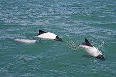 Commerson's Dolphin playing and breaching in Argentina