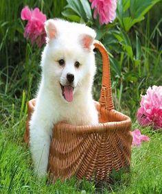 Dog Playing with Basket.