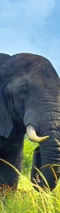 Big bull elephant