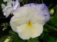 Viola Woodlands Cream : Medium sized flowers of rich cream with flecks of pale blue.  Compact and floriferous. (EG 2013)