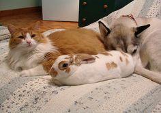 Kaniner kan blive gode venner med både hunde og katte, hvis sammenføringen foregår ordentligt.   Prøv at se disse 3 - det er da idyllisk :)  www.kaninhaandbogen.dk #huskaniner