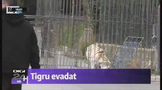 Stirile Digi24 de astazi 28 Ianuarie 2017 ora 18:00 - Tigru evadat