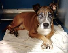SUPER URGENT 10/18/16 BOOTS – A1093880  MALE, BROWN / WHITE, SIBERIAN HUSKY / AM PIT BULL TER, 11 yrs OWNER SUR – EVALUATE, NO HOLD Reason TOO MANY P Intake condition EXAM REQ Intake Date 10/18/2016, From NY 10456, DueOut Date 10/18/2016,