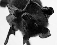 I am so obsessed with bats! They are so cute.  Such cool creatures!