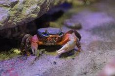 Výsledek obrázku pro gecarcinus quadratus Krabi, Animals, Animales, Animaux, Animal, Animais