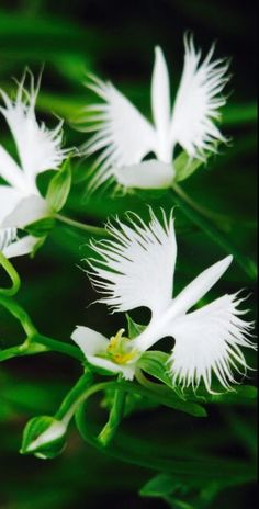 Up to 60 off 200pcs japanese egret flowers seeds white egret httpspinterestpin549017010795628099 mightylinksfo